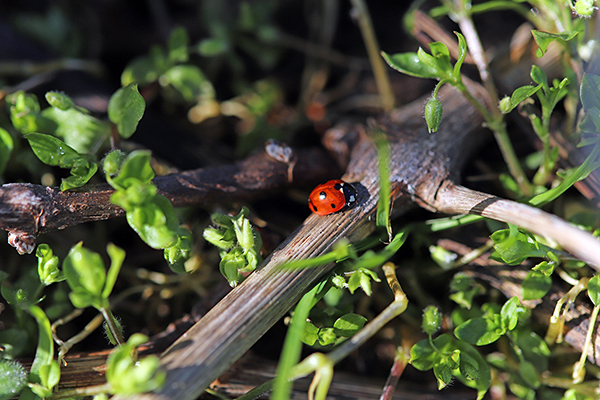 Coccinelle - Location 1 an pour site web 600 x 400 pixels -© Carine Charlier © copie
