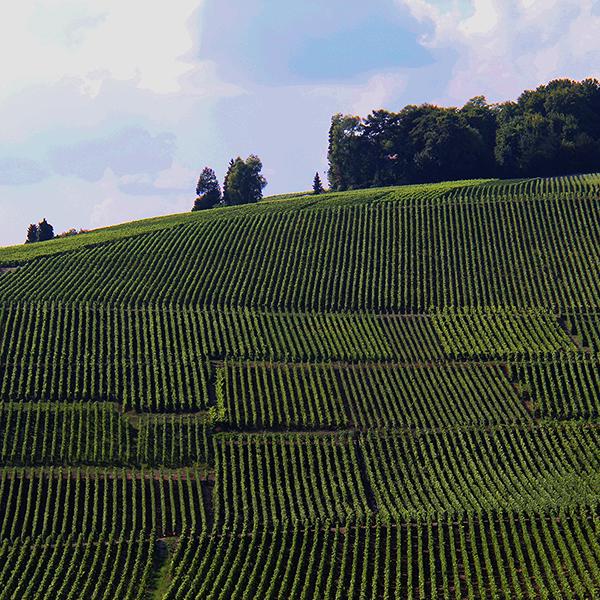 Vignoble hautvillers- Location 1 an site web 600 x 600 pixels - Carine Charlier